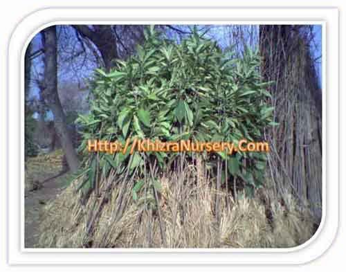 Loquat Plants