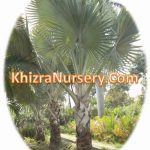 Bismarckia palm trees