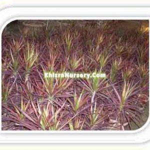 Cordyline Plants