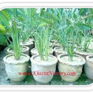 Strelitzia Plants