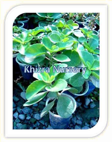 Crassula Plants