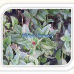 Malephora Crocea
