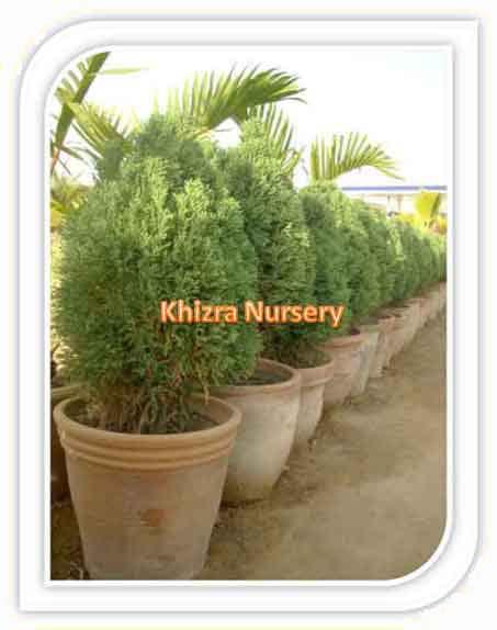 Juniperus Plants