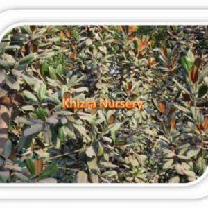 Magnolia Plants