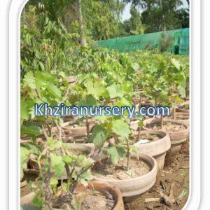 Grapes Plants