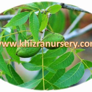Pecan Nut Plants