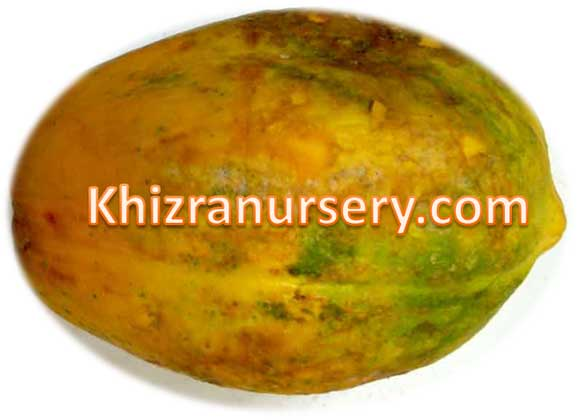 Carica papaya Seeds