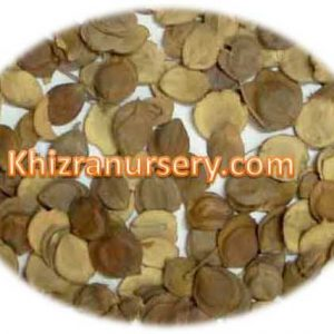 Nyctanthes arbortristis Seeds