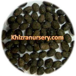 Sabal Palmetto Seeds