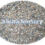 Terminalia mantaly Seeds