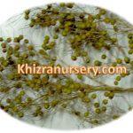Nannorrhops Ritchiana Seeds