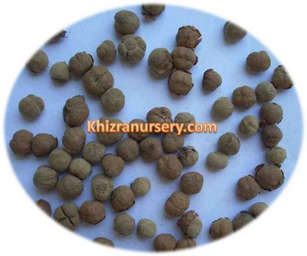 Tectona Grandis Seeds
