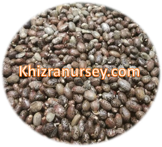 ricinus communis castor seeds
